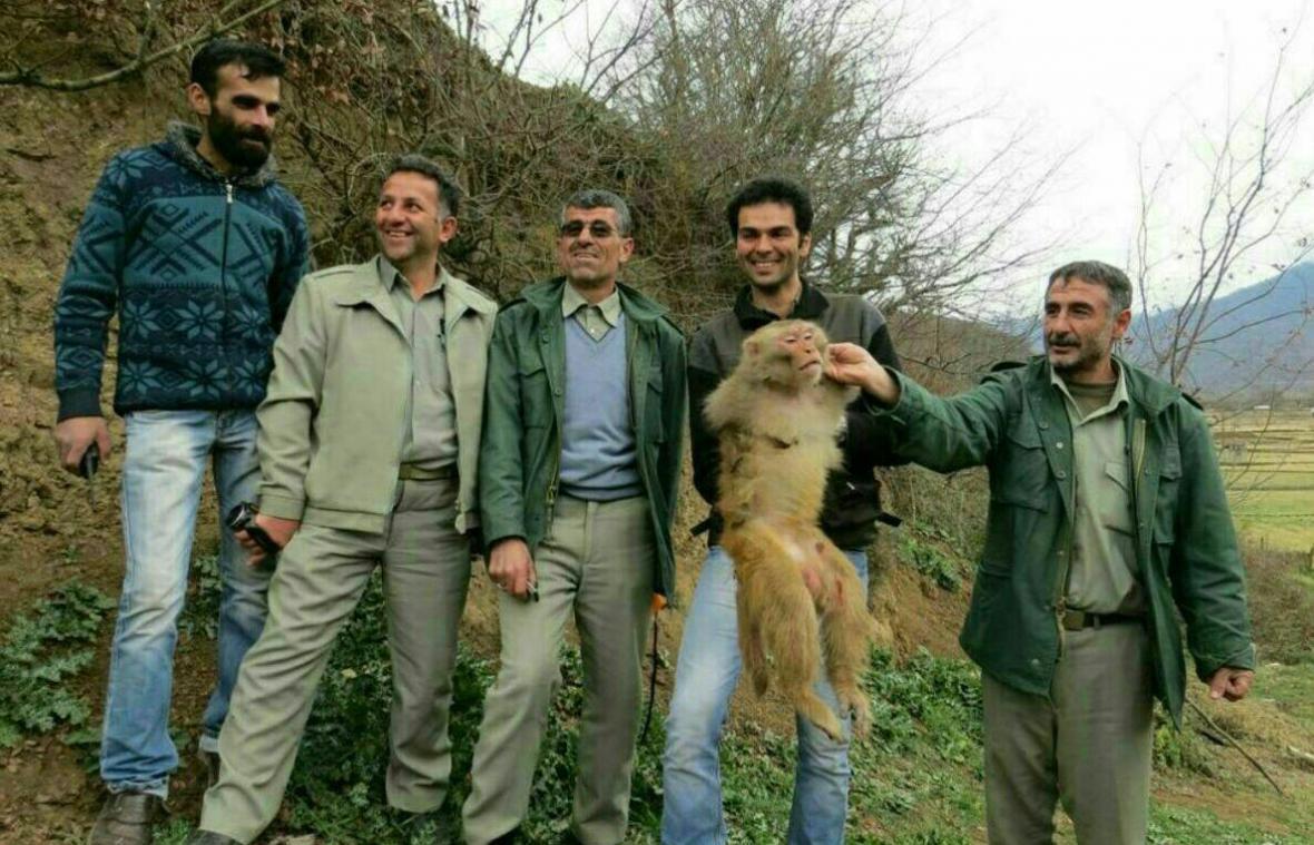 نگرانی مسافران از میمون های وحشی در شمال ایران ، رزوس ها چطور از سیاهکل سر درآوردند؟